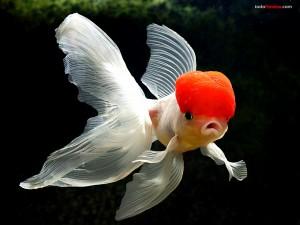 Postal: Goldfish boina roja