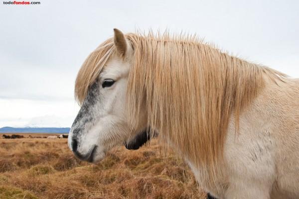 Caballo islandés blanco