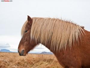 Caballo islandés castaño y rubio