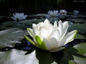 Postal: Flores de loto blancas