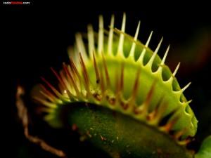 Planta carnívora atrapamoscas