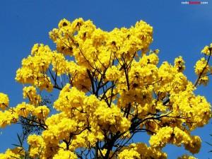 Postal: Árbol de Guayacán amarillo