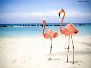 Postal: Flamencos rosas