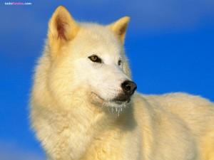 Postal: Lobo ártico