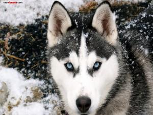Postal: Lobo siberiano