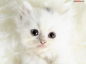 Postal: Gatito blanco