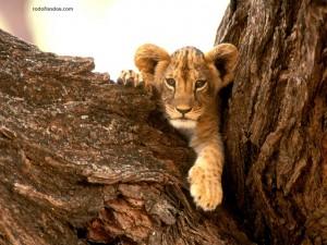 Postal: Cachorro de león en un árbol