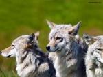 Hermanos lobos