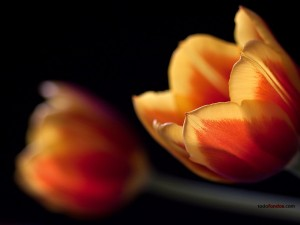 Dos tulipanes