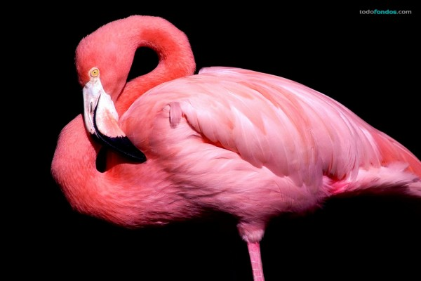 Un flamenco rosa