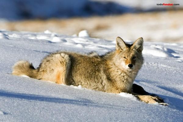 Un lobo en la nieve