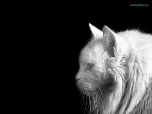 Gato blanco sobre negro