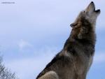 Lobo gris aullando