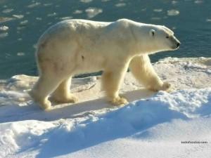 Postal: Oso polar (oso blanco)