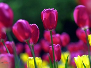 Postal: Tulipanes