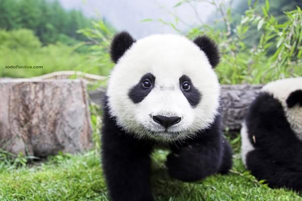 Cachorro de oso panda