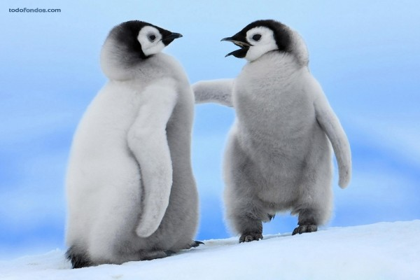 Pingüinos bebés
