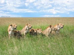 Leonas (Parque Nacional Masai Mara, Kenia)