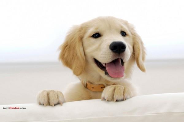 Cachorro de Golden Retriever
