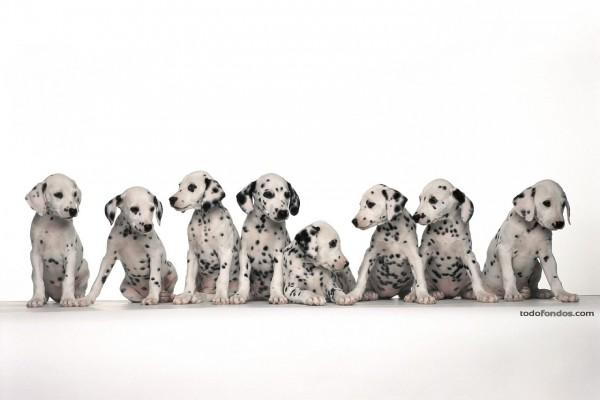 Cachorros de dálmata