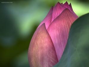 Postal: Flor de Loto