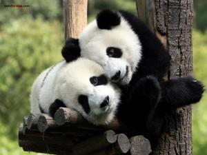 Postal: Pandas enamorados