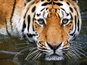 Postal: Tigre bañándose