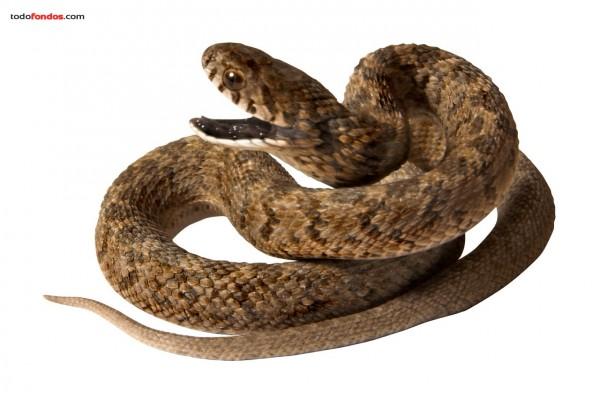 Serpiente enroscada y en alerta