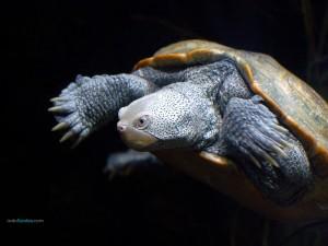 Postal: Tortuga de escudo africana (Pelomedusa subrufa)