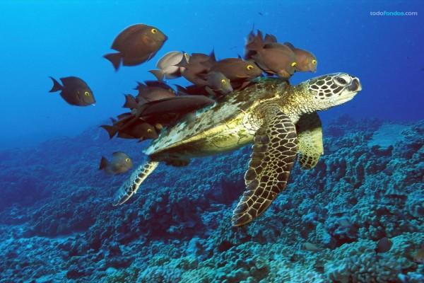Tortuga verde marina siendo limpiada por peces del arrecife, en Hawaii