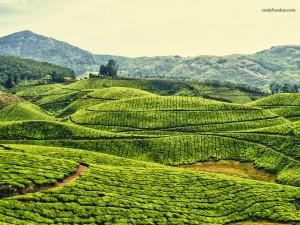 Postal: Plantaciones de té en Kerala, India