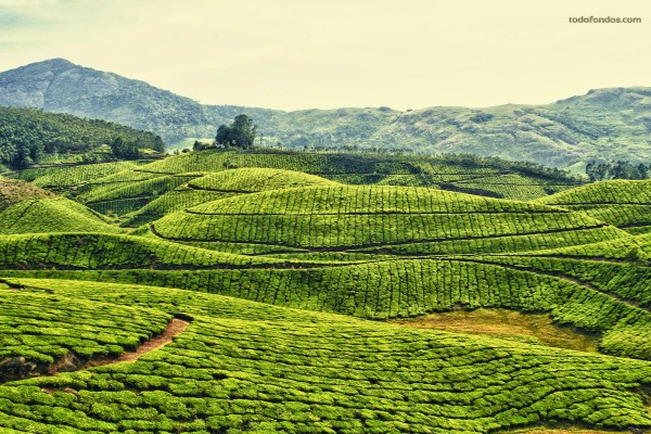 Plantaciones de té en Kerala, India