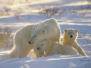 Postal: Familia de osos polares