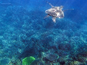 Una tortuga en la Gran Barrera de Coral