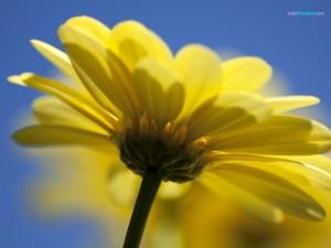 Margarita amarilla sobre fondo azul