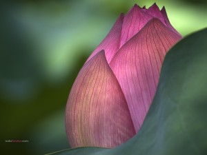 Flor de loto cerrada