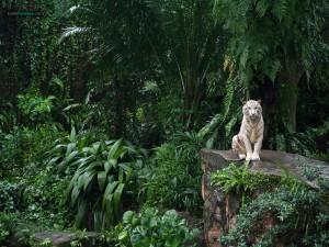 Postal: Tigre blanco (Zoo de Singapur)