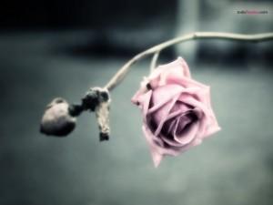 Postal: Rosa marchita