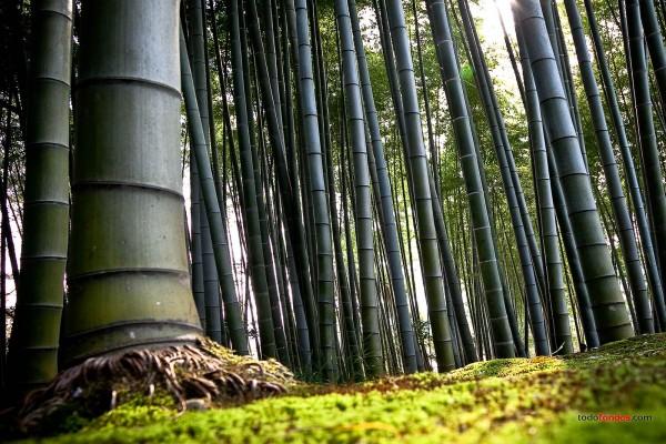 Bosque de bambú, en Kioto (Japón)