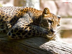 Leopardo tumbado sobre un tronco