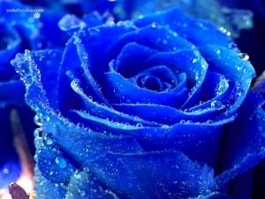 Una rosa azul