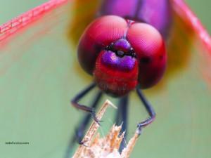 El rostro de la libélula