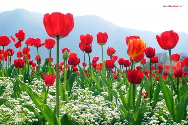 Plantación de tulipanes