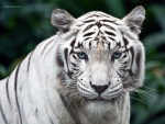 La mirada del tigre blanco