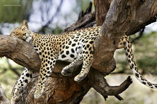 Leopardo durmiendo sobre un árbol