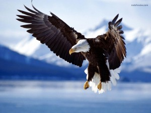 Postal: Águila calva en pleno vuelo