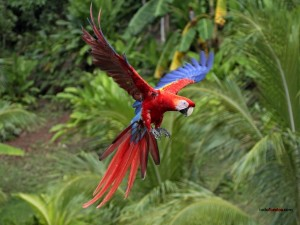Guacamaya (Ara macao) volando
