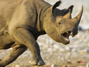 Postal: Rinoceronte negro cargando