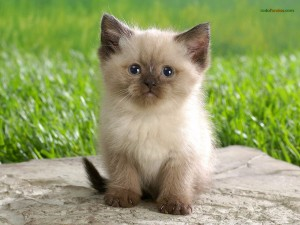 Postal: Cachorro de gato himalayo