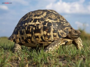 Tortuga leopardo (Geochelone pardalis)